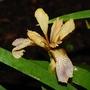 Iris foetidissima (Stinking Iris)