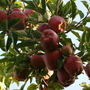 Vitales-Rosaceae Apple.