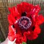 Great Scarlet Poppy (Papaver orientale var. bracteatum)