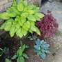 Hosta  and Heuchera 'Melting Fire'