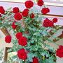 Rose 'Crimson Cascade'