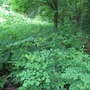 The lacy forest margin--JITP country. (Thalictrum pubescens)