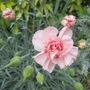 Dianthus 'Indian Pink' (Dianthus caryophyllus (Carnation Can-Can))
