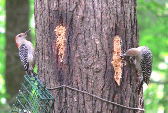 Red-bellied Woodpecker Fledging