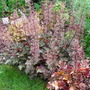Heucheras in Flower