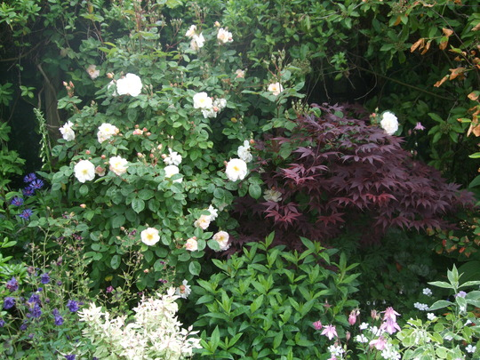 Rose and Acer (Acer palmatum 'Bloodgood')