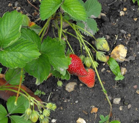 Strawberries are starting .....yummy.........