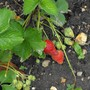 Strawberries are starting .....yummy.........