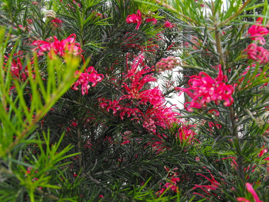 Grevellea.......also doing very well with the wet season....