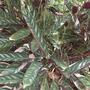 Ctenanthe oppenheimiana 'tricolor' -Openheim's Ctenanthe, Never-Never Plant (Ctenanthe oppenheimiana 'tricolor' -Openheim's Ctenanthe, Never-Never Plant)