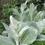 These are getting enormous. (Verbascum bombyciferum (Mullein))