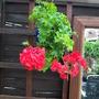 Trailing geranium