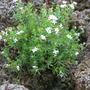 Asperula sp. (Asperula sp.)