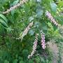 Neillia thibetica - 2012 (Neillia thibetica)