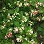 Weigela &#x27;Strawberries and Cream&#x27; florida &#x27;Vesicolor ( Old Fashioned Weigela) (Weigela florida &#x27;Versicolor&#x27; (Old Fashion Weigela))