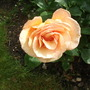 Rose 'Norwich Castle' floribunda copper orange (Rose Norwich Castle floribunda)