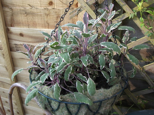 Salvia officinalis - 'Tricolor' (Variegated Sage), multi-stemmed Herb, culinary uses, evergreen, can be invasive so I am trying it in a basket this year. (Salvia officinalis (Common sage))