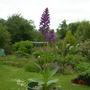 Orchis foliosa (Orchis foliosa)