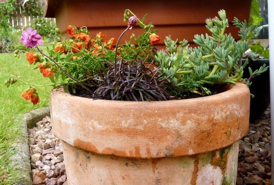 New plants in old pot.   (Helianthemum)
