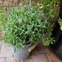 Lavender Stoechas 'Anouk' in metal pot (Lavandula stoechas (French lavender))