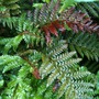 Dryopteris erythrosora (copper shield fern) (Dryopteris erythrosora)