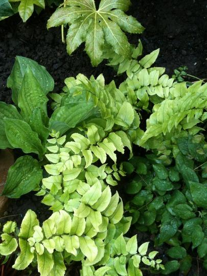 Cyrtomium fortunei (Japaneses Holly Fern) (Cyrtomium fortunei)