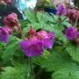 Geranium macrorrhizum ' Ingwerson's Variety' (Geranium macrorrhizum)