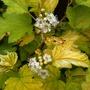 Physocarpus opulifolius 'Nugget' (Physocarpus opulifolius (Ninebark))