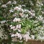Kolkwitzia Amabilis - Flatford Mill