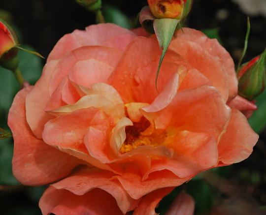 Westerland.... (Rosa Westerland.)