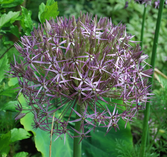 Allium Christophii... (Allium christophii (Persian Onion))