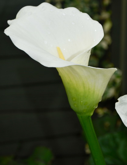 Zantedeschia aethiopica. (Zantedeschia aethiopica (Arum lily))