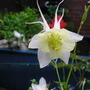 aquilegia snow white