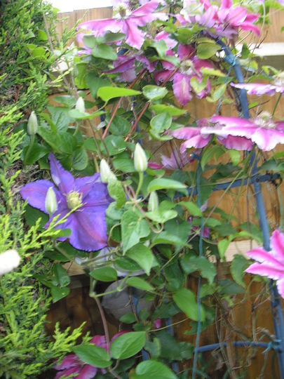 Two Clematis 7th June 2012