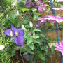 Two_clematis_7th_june_2012_002