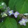 Hydrangea serrata 'Miyama-yae-murasaki' (Purple Tiers) (Hydrangea serrata)