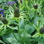 Rudbeckia 'Green Wizard' (Rudbeckia occidentalis (Western Coneflower))