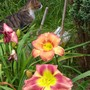 Daylilies and Cat