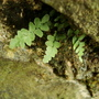 Ferns_june_004