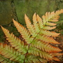 Ferns_june_005