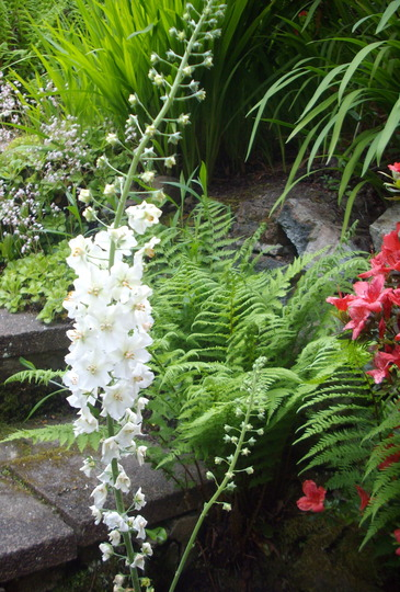 Verbascum (white) (Verbascum (white))