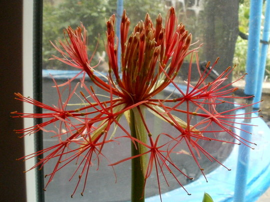 blood lily ball.. (Scadoxus multiflorus)