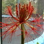 Blood_lily