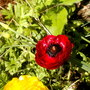 red persian buttercup (Ranunculus asiaticus)
