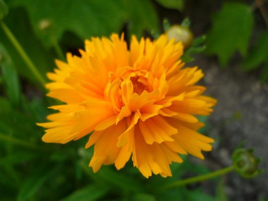 Coreopsis (Coreopsis lanceolata (Coreopsis Baby Sun))