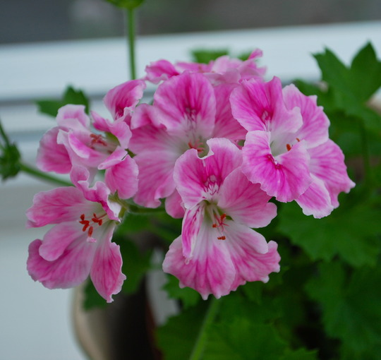 Pelargonium Birthday Girl.... (Pelargonium Birthday Girl.)