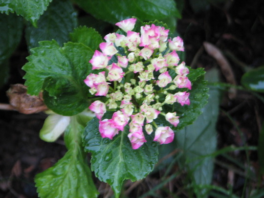 Hortensia Bouquet Rose - starts to bloom. In time.