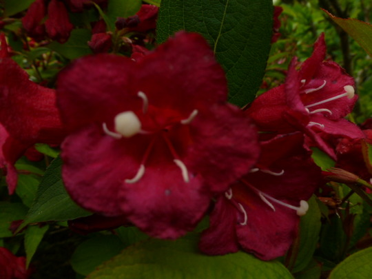 "Weigela  ........ for Dawn  "" Ruby Red """