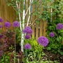 Alliums and Silver Birch (Allium hollandicum (Ornamental onion))