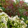 Choisya Ternata 'Sundance' and Photinia 'Pink Marble'